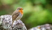 Single adult robin, Erithacus rubecula, perched on a lichen covered log. Space for text.