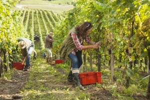 Men and woman cutting a bunch of white grapes and collecting it in crate in vineyard.