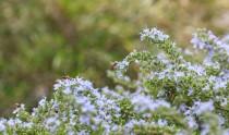 Bees on flowering rosemary