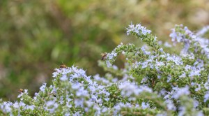 Bees on flowering rosemary