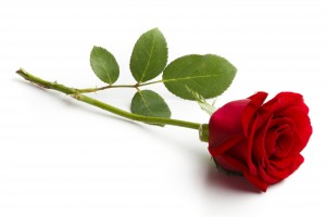red rose on white background,isolated